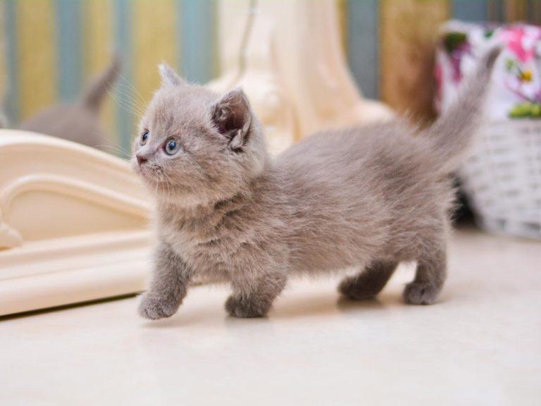 Koty Munchkiny – kocie jamiki