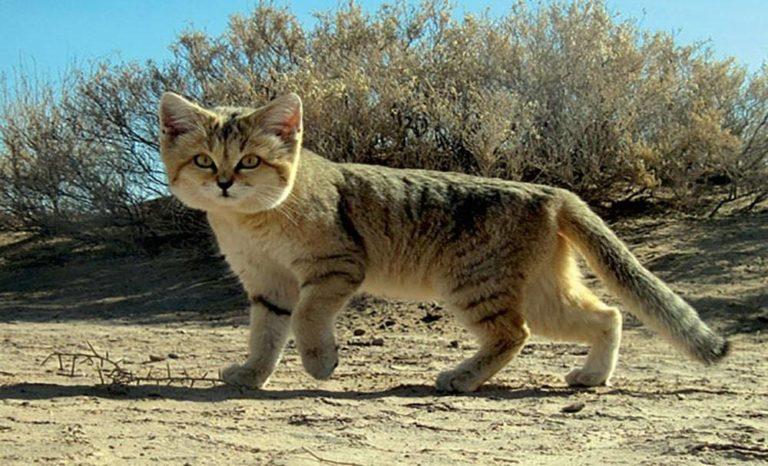 Turkmeński kot pustynny – nieustraszony mieszkaniec pustyni