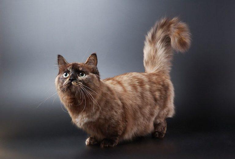 Koty munchkiny – co powinniśmy o nich wiedzieć?