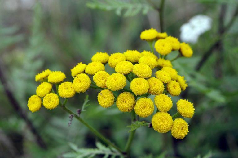 Nużeniec leczenie ziołami – jak je przeprowadzić?